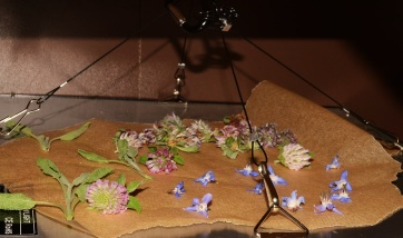 clover and borage drying