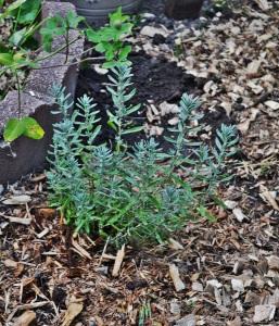 lavender transplanted