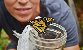 monarch on cheesecloth